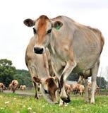 γαλακτοκομείο αγελάδων Στοκ φωτογραφίες με δικαίωμα ελεύθερης χρήσης