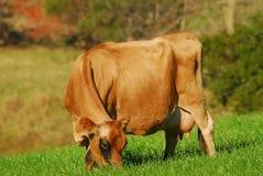 γαλακτοκομείο αγελάδ& Στοκ Φωτογραφίες
