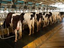 γαλακτοκομείο αγελάδ& Στοκ Εικόνες