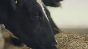Γαλακτοκομικές αγελάδες που τρώνε το σανό σε έναν μεγάλο σταύλο σε ένα γαλακτοκομικό αγρόκτημα απόθεμα βίντεο
