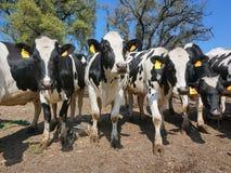 Γαλακτοκομικές αγελάδες σε έναν τομέα Καταλωνία Ισπανία Στοκ φωτογραφία με δικαίωμα ελεύθερης χρήσης