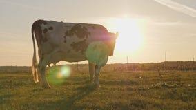 Γαλακτοκομική αγελάδα στην επαρχία, όμορφο ηλιοβασίλεμα στο υπόβαθρο απόθεμα βίντεο