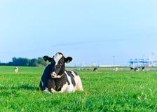 Γαλακτοκομική αγελάδα του Χολστάιν που στηρίζεται στη χλόη Στοκ Εικόνες