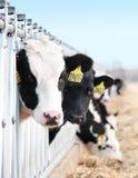 γαλακτοκομικό κοίταγμα βοοειδών Στοκ Εικόνες