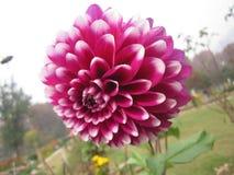 Γαλακτοκομικό λουλούδι Στοκ φωτογραφία με δικαίωμα ελεύθερης χρήσης