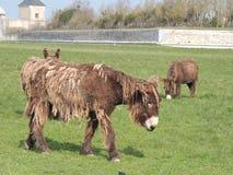 Γαλλία, γάιδαρος Poitou Στοκ Φωτογραφίες
