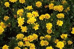 Γαλλικά λουλούδια Στοκ Φωτογραφίες