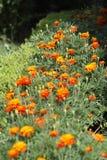 Γαλλικά λουλούδια Στοκ εικόνες με δικαίωμα ελεύθερης χρήσης