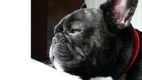 Γαλλικά λυπημένα howls μπουλντόγκ απόθεμα βίντεο
