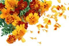 γαλλική απομονωμένη marigold κάρ&tau στοκ εικόνα με δικαίωμα ελεύθερης χρήσης