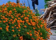 Γαλλική marigold άνθιση λουλουδιών Στοκ εικόνα με δικαίωμα ελεύθερης χρήσης