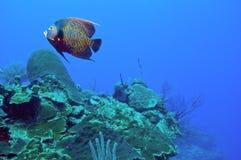 Γαλλικοί angelfish και σκόπελος Στοκ φωτογραφίες με δικαίωμα ελεύθερης χρήσης