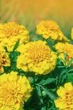 Γαλλικός κίτρινος marigold τύπος anemone Στοκ φωτογραφίες με δικαίωμα ελεύθερης χρήσης