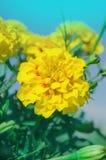 Γαλλικός κίτρινος marigold τύπος anemone Στοκ φωτογραφία με δικαίωμα ελεύθερης χρήσης