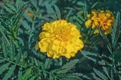 Γαλλικός κίτρινος marigold τύπος anemone Στοκ εικόνες με δικαίωμα ελεύθερης χρήσης