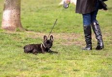 γαλλικός οκνηρός σκυλι Στοκ Εικόνα