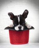 Γαλλικός ύπνος σκυλιών κουταβιών μπουλντόγκ σε ένα κόκκινο καπέλο επίδειξης Στοκ φωτογραφία με δικαίωμα ελεύθερης χρήσης