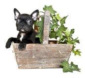 γαλλικό κουτάβι μπουλν&ta στοκ φωτογραφία με δικαίωμα ελεύθερης χρήσης