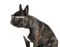 Γαλλικό μπουλντόγκ σκυλιών στα γυαλιά Στοκ Φωτογραφία