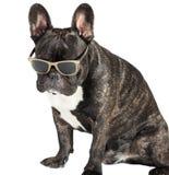 Γαλλικό μπουλντόγκ σκυλιών στα γυαλιά Στοκ Εικόνες