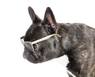 Γαλλικό μπουλντόγκ σκυλιών στα γυαλιά Στοκ φωτογραφίες με δικαίωμα ελεύθερης χρήσης