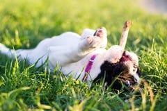 Γαλλικό σκυλί μπουλντόγκ μωρών - στοκ εικόνες με δικαίωμα ελεύθερης χρήσης