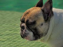 Γαλλικό σκυλί ταύρων σε μια λίμνη Στοκ φωτογραφία με δικαίωμα ελεύθερης χρήσης