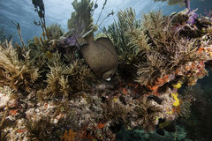 Γαλλικό Angelfish στην κοραλλιογενή ύφαλο Στοκ εικόνες με δικαίωμα ελεύθερης χρήσης