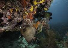 Γαλλικό Angelfish στην κοραλλιογενή ύφαλο Στοκ φωτογραφίες με δικαίωμα ελεύθερης χρήσης