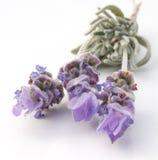 γαλλικό lavender Στοκ Εικόνες