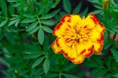 γαλλικό marigold Άνθιση, χλωρίδα στοκ φωτογραφία