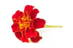 Γαλλικό Marigold λουλούδι Tagetes που απομονώνεται στο λευκό στοκ εικόνες με δικαίωμα ελεύθερης χρήσης