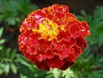 Γαλλικό marigold με τα σταγονίδια Στοκ εικόνα με δικαίωμα ελεύθερης χρήσης