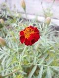 Γαλλικό marigold στον κήπο μου στοκ φωτογραφία