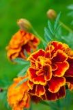 γαλλικό marigold Στοκ Εικόνα