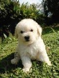 γαλλικό poodle κουτάβι Στοκ Εικόνα