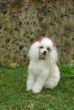 γαλλικό poodle 6 Στοκ Φωτογραφία