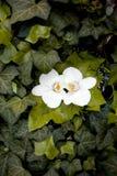 Γαμήλια δαχτυλίδια που βάζουν στο phalaenopsis και τον κισσό Στοκ φωτογραφία με δικαίωμα ελεύθερης χρήσης