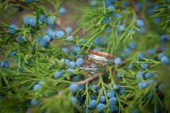 Γαμήλια δαχτυλίδια σε έναν κλάδο ενός ιουνιπέρου Στοκ φωτογραφίες με δικαίωμα ελεύθερης χρήσης