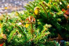 Γαμήλια δαχτυλίδια στα κωνοφόρα Στοκ εικόνες με δικαίωμα ελεύθερης χρήσης