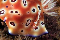 Γαρίδες αυτοκρατόρων σε Nudibranch στοκ φωτογραφία με δικαίωμα ελεύθερης χρήσης