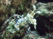γαρίδες κλόουν harlequin στοκ φωτογραφία
