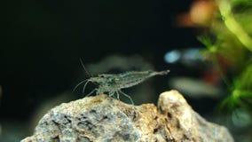 Γαρίδες Amano απόθεμα βίντεο