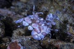 Γαρίδες Harlequin στα ερείπια κοραλλιογενών υφάλων στοκ φωτογραφία με δικαίωμα ελεύθερης χρήσης
