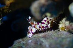 Γαρίδες Harlequin στην κοραλλιογενή ύφαλο στοκ φωτογραφία