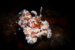 Γαρίδες Harlequin - picta Hymenocera στοκ φωτογραφία με δικαίωμα ελεύθερης χρήσης