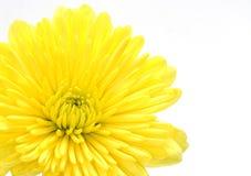 γαρίφαλο κίτρινο στοκ εικόνες
