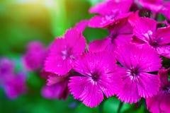 γαρίφαλο λίγα λουλούδια Στοκ Φωτογραφίες