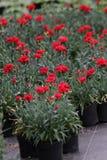 Γαρίφαλο Ο τομέας των γαρίφαλων με πράσινο βγάζει φύλλα και λουλουδιών οφθαλμοί στο δοχείο για τη διακόσμηση ή το δώρο floral πρό Στοκ Εικόνες