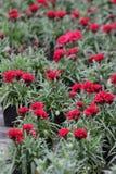 Γαρίφαλο Ο τομέας των γαρίφαλων με πράσινο βγάζει φύλλα και λουλουδιών οφθαλμοί στο δοχείο για τη διακόσμηση ή το δώρο floral πρό Στοκ Φωτογραφίες
